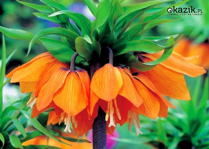 Szachownica – Fritillaria