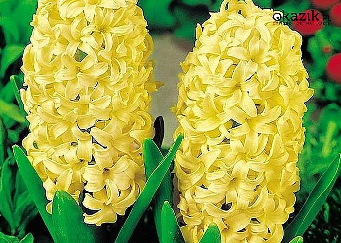 Cebule kwiatowe! Hiacynt Pachnący! Mnóstwo przepięknych, kolorowych odmian!