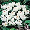 cebule kwiatowe - Krokus Wielkokwiatowy Jeanne Darc 10 szt