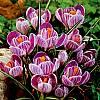 cebule kwiatowe - Krokus Wielkokwiatowy Pickwick 10 szt