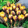 cebule kwiatowe - Krokus Wielkokwiatowy Saturnus 10 szt