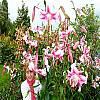 cebule kwiatowe - Lilia drzewiasta Anastasia 1 szt