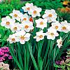 cebule kwiatowe -  Narcyz Babuni Actaea 5 szt Pachnący